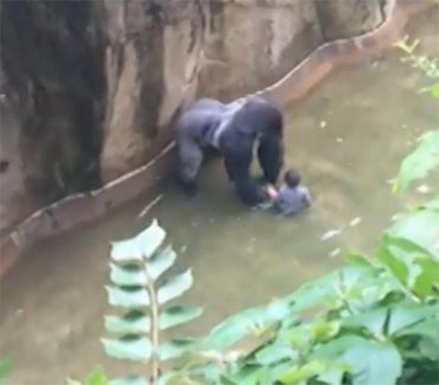 Matan a gorila en Zoológico de EU para salvar a niño que entró a su recinto