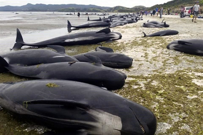 Regresan al mar a ballenas varadas