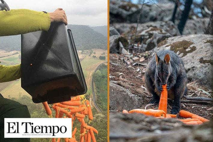 'Llueven' miles de zanahorias para alimentar animales en Australia