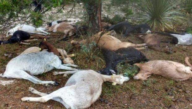 Mueren 50 cabras por falta de agua
