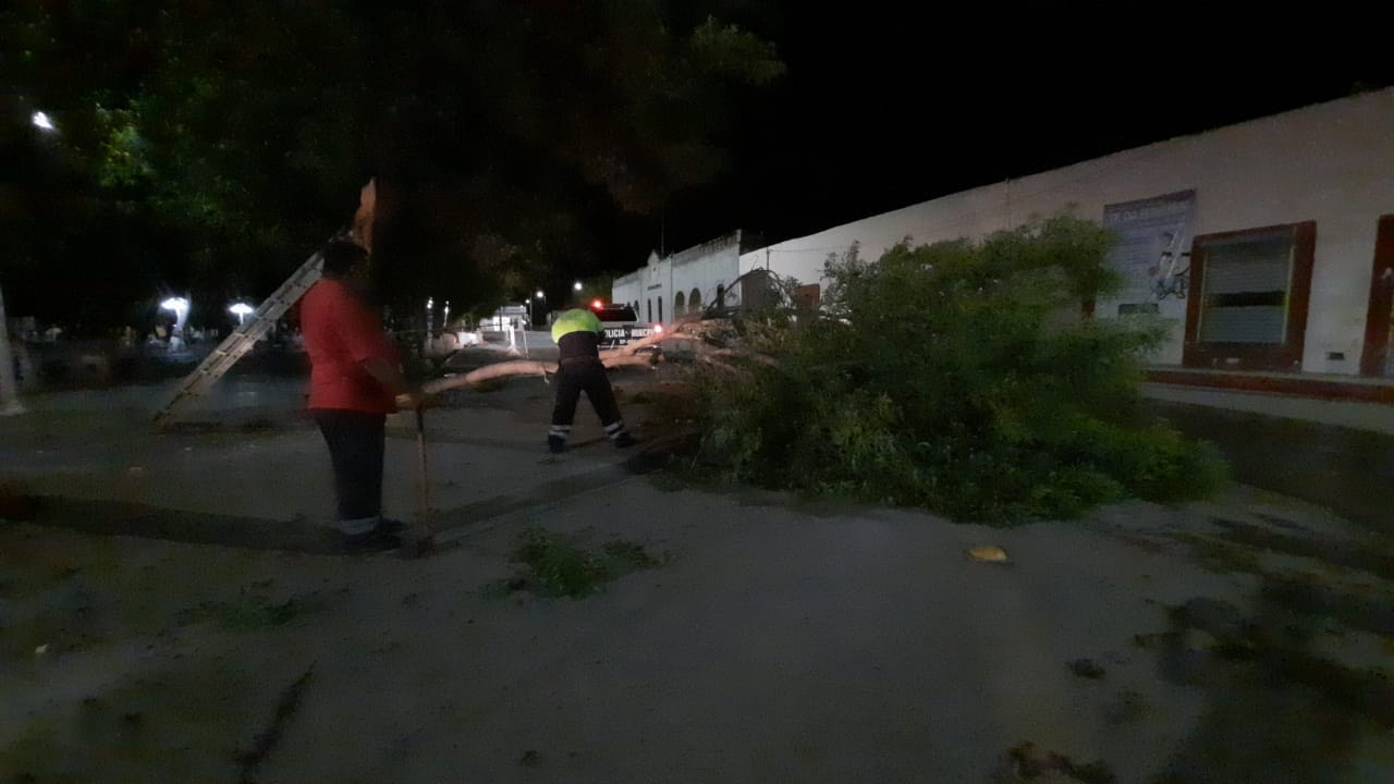 Cae árbol en  plaza principal:  no hubo daños
