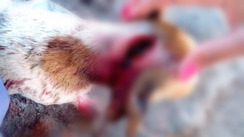 En Sinaloa, hombre hiere con machete a perrita que acababa de parir