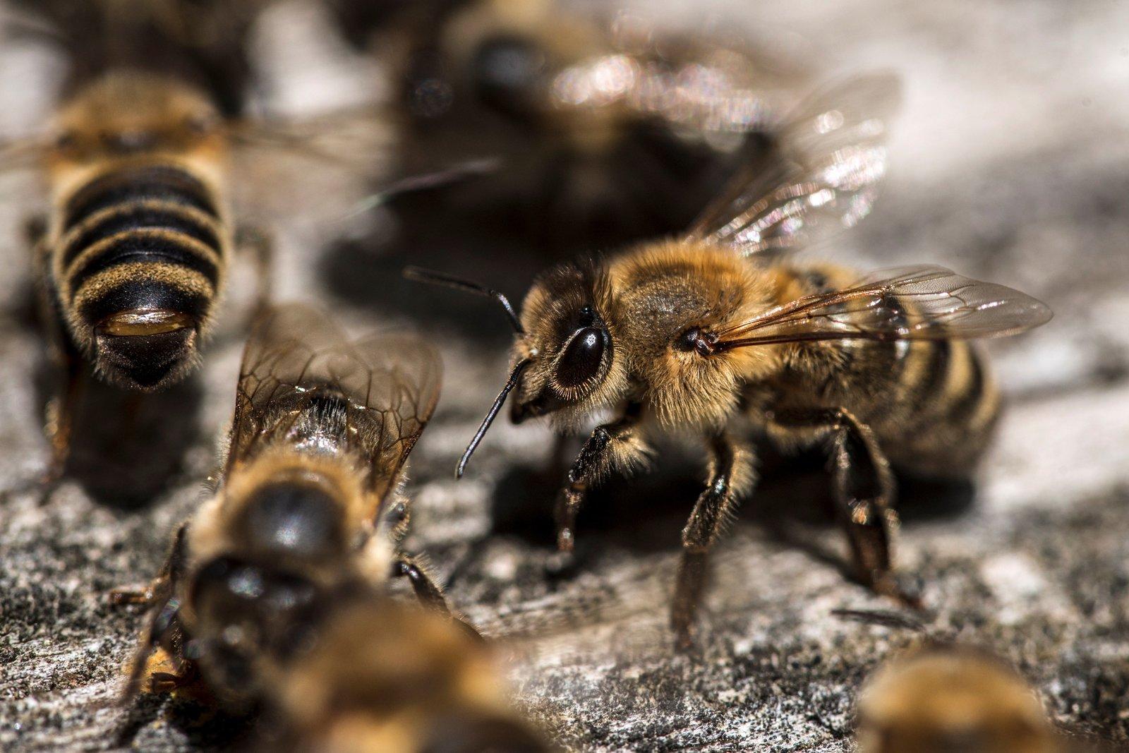¿Piquetes de abejas para mejorar la salud durante la pandemia?