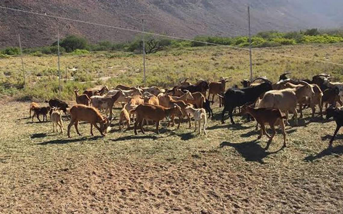 Autoridades siguen sin resolver denuncias por robo de ganado