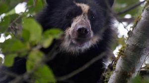 Hallan osos andinos, especie en extinción, cerca a zona ganadera en Ecuador