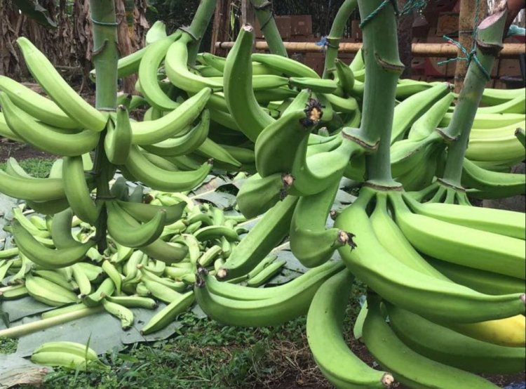 Restos dentales dicen que en el Mediterráneo se comía plátano hace 3,000 años