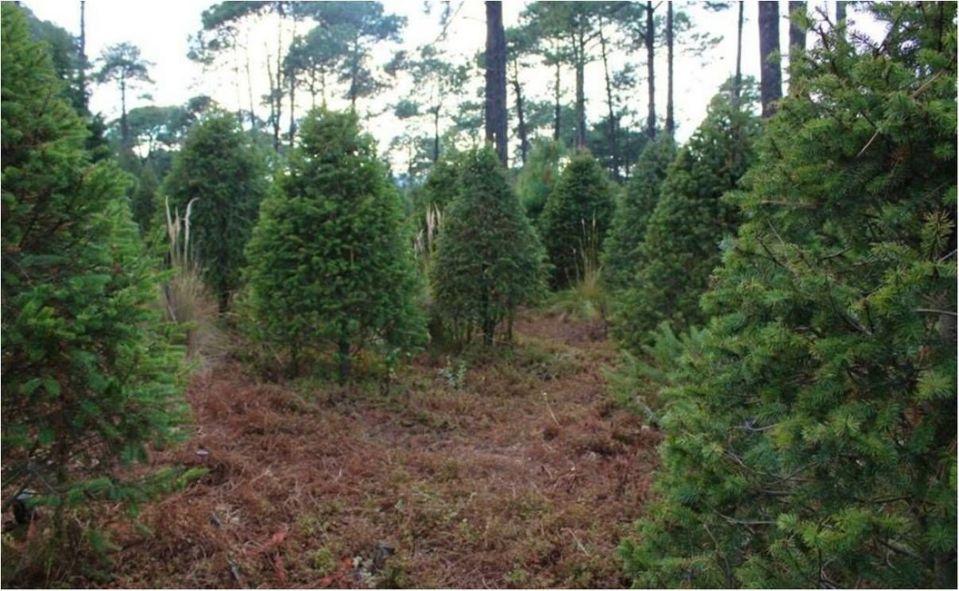 Habilitan centros de acopio para recibir árboles de Navidad
