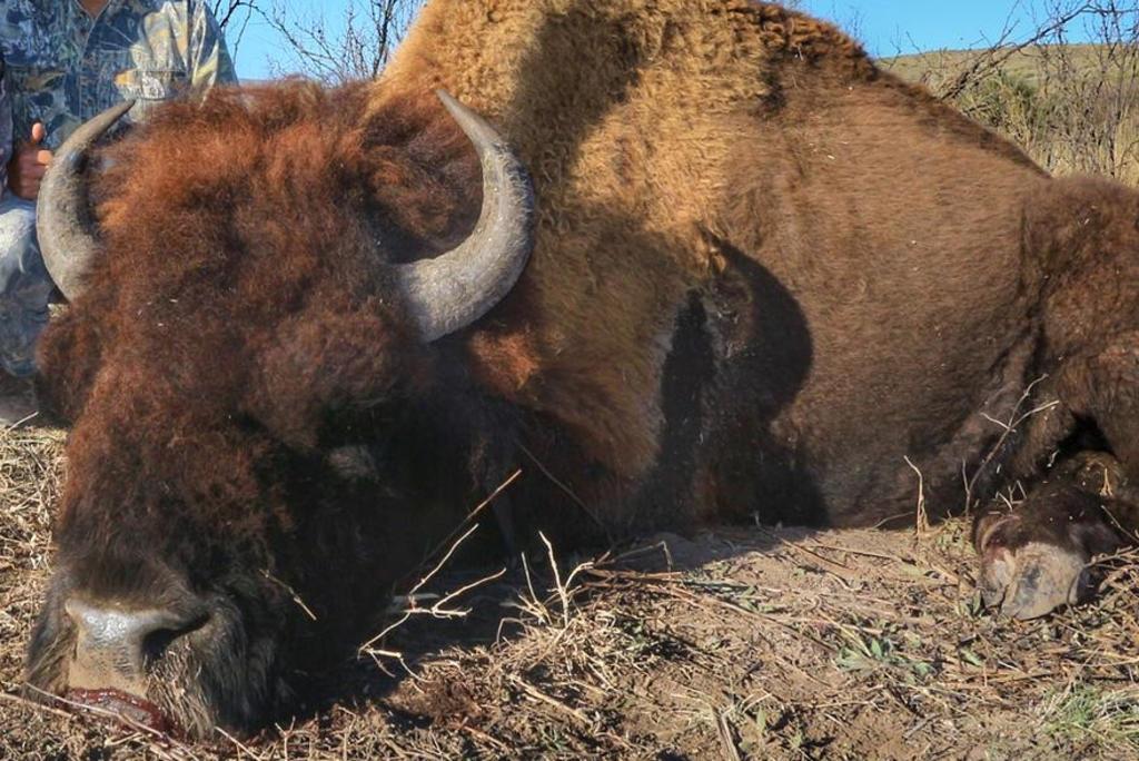 Coahuila presenta denuncia ante la Profepa por presunta caza ilegal de bisontes