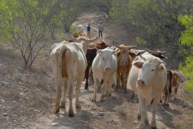 Baja 20% exportación de ganado de la Región Centro