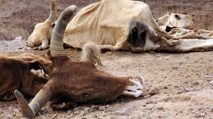 Escasez de agua y alimento mata a 800 bovinos en 'San Buena'