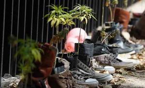 Pide Senado a CDMX asumir responsabilidad y quitar venta de marihuana