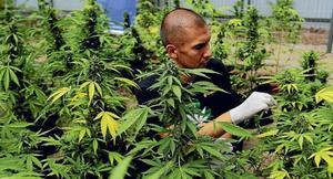 Aprueban en lo general el uso lúdico de marihuana