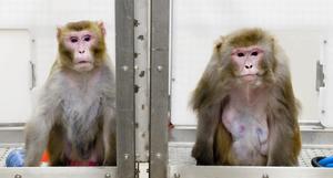 Escasez de monos para experimentación, un riesgo para vacunas contra el COVID-19