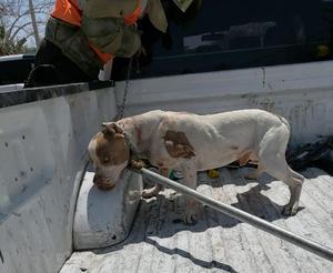 Pitbull casi le arranca la nariz a niño en Monclova