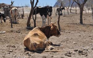 Muere ganado en ejidos de la Región Centro