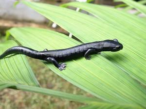 Estudiantes de biología de Guatemala descubren nueva especie de salamandra