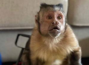 Muere Georgie el mono famoso por videos y stickers de WhatsApp