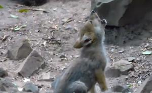Captan en video aullidos de cachorro de lobo nacido en zoológico