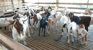 Multa hasta 100 salarios mínimos por criar animales en la ciudad de Frontera