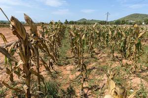 Las lluvias son insuficientes ante sequía