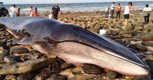 Varamiento de ballena en estado mexicano de Sonora, oportunidad para expertos