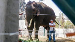 El elefante rescatado Big Boy ya duerme en su nuevo hogar en Culiacán