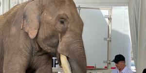 Elefante 'Big boy' inaugura el santuario de animales de Culiacán