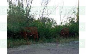 Vecinos del sector sur de Monclova reportan vacas en la calle
