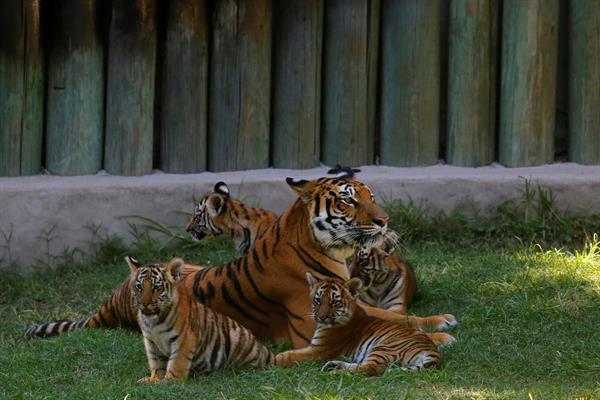 Cuatro cachorros de tigre deleitan a los visitantes de un zoológico en México