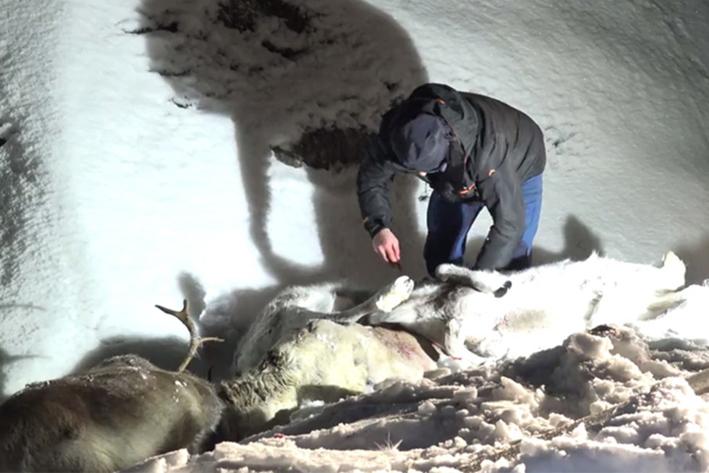 Noruega: Más de 100 renos murieron tras ser arrollados por trenes
